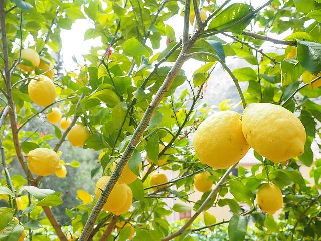 evde limon yetiştirmek nasıl yapılır