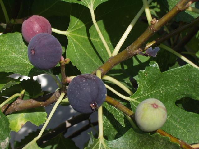 ilginç fal bakma yöntemleri incir yaprağı falı